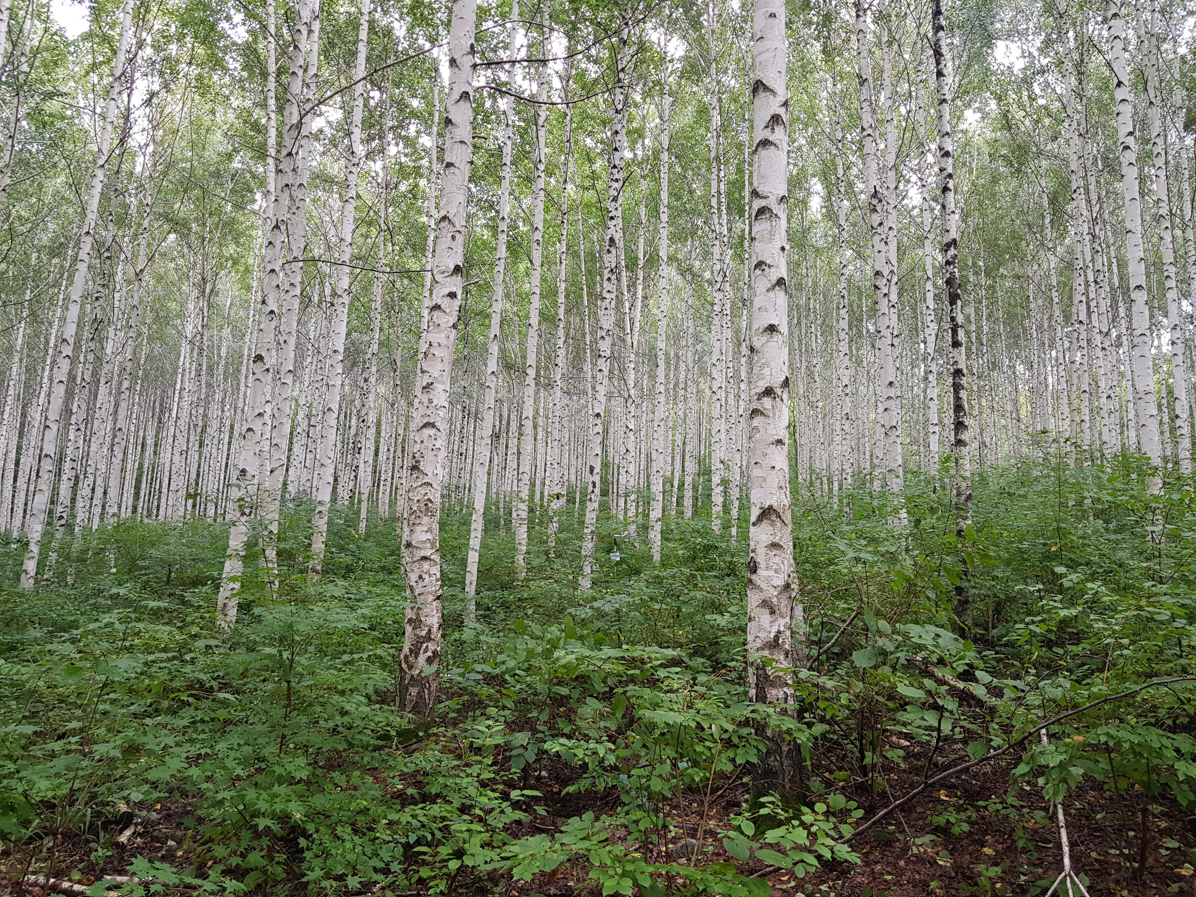 빅데이터가 말하는 인제 자작나무 숲의 인기 비결 이미지4