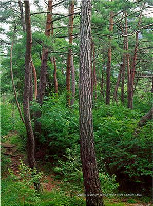 남설악의 금강소나무 숲 (Pine forest in the Southern (Mt.)Seoraksan)