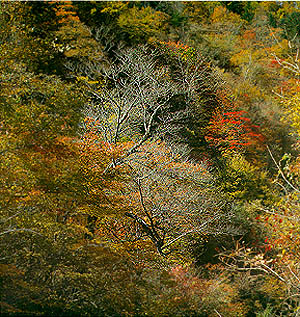 명개리의 가을 숲 (Autumnal Forest in Myeonggae-ri)