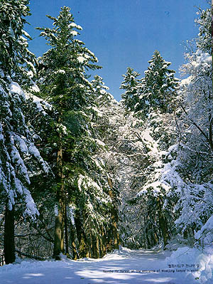 월정사 입구 전나무 숲(Needle fir forest at entrance of Woljeongsa (temlpe) in winter)