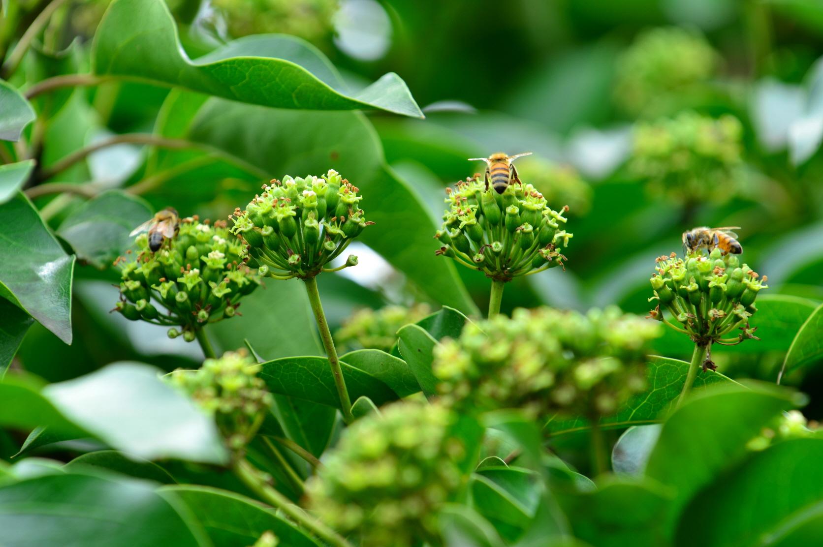 산림과학원, 황칠나무 통해 고부가 벌꿀 수확 가능 이미지1