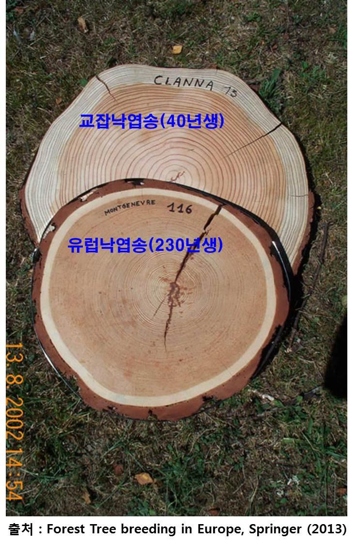 명품낙엽송을 만들기 위한 낙엽송 국제결혼!!! 이미지4