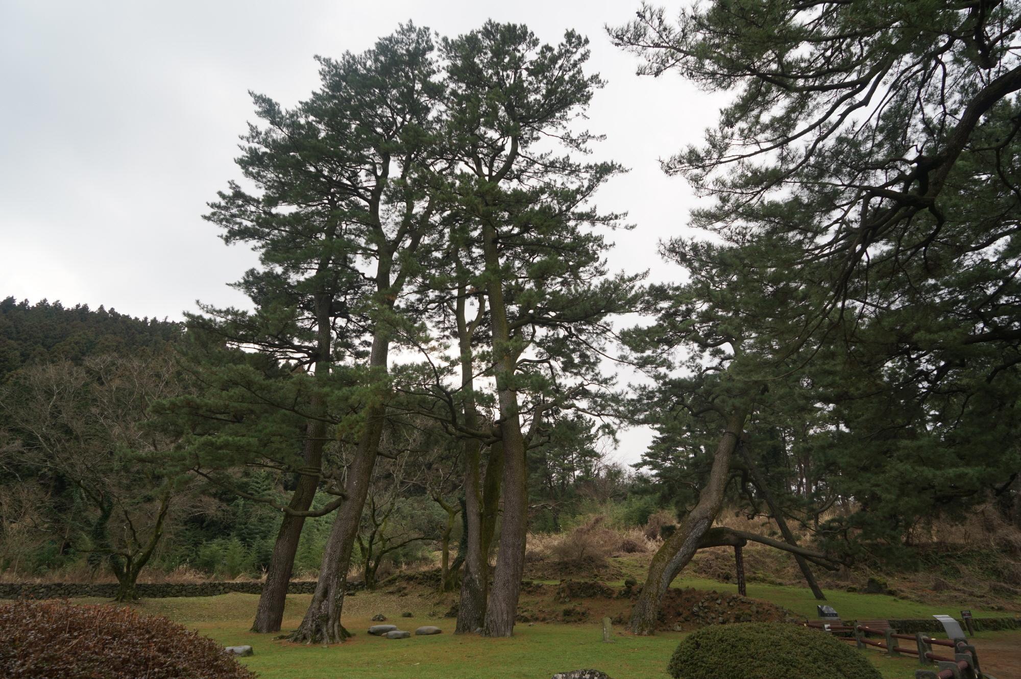 마을 역사 간직한 천연기념물 노거수, 보존·복제 나선다 이미지1