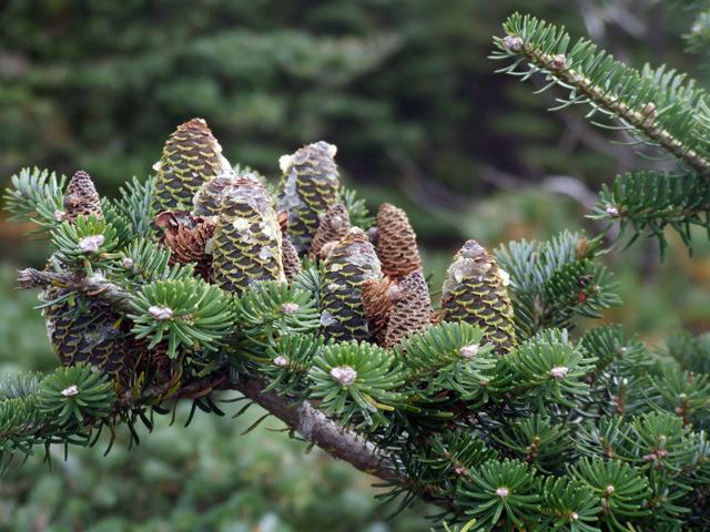 산림청, 멸종 위기 '구상나무' 보전 나섰다 이미지1