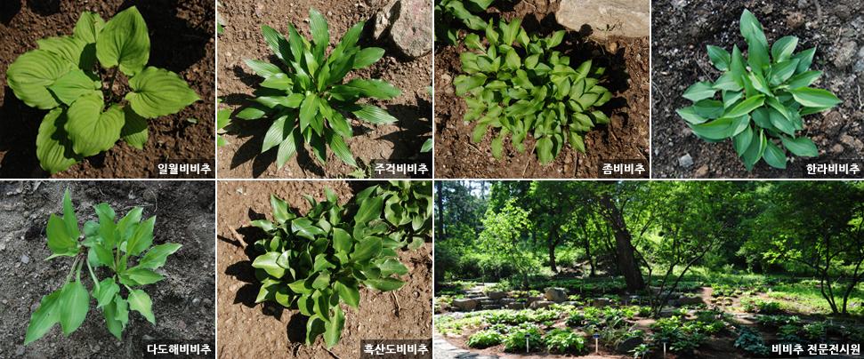 국립수목원, 비비추 전문전시원 만들어 이미지2