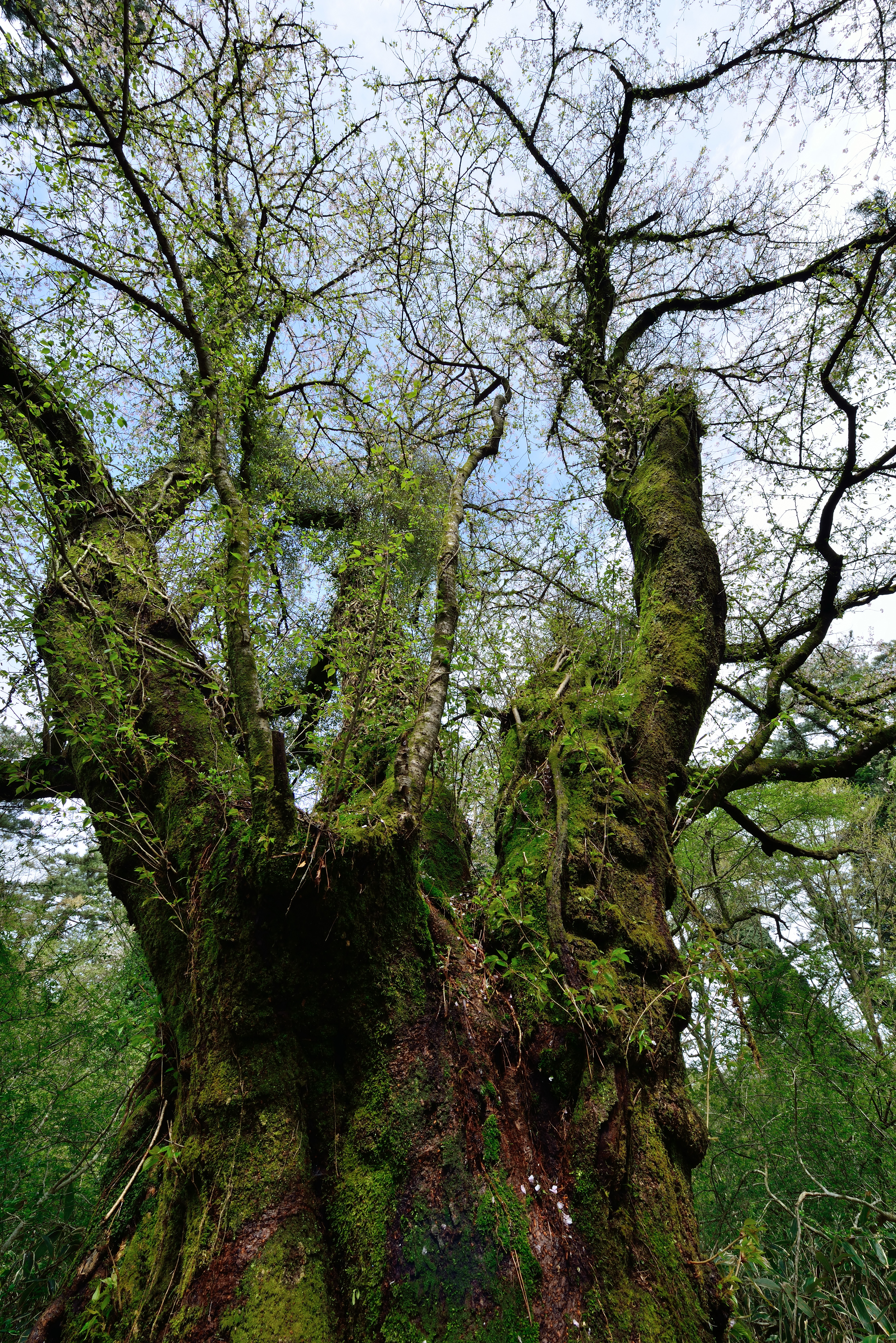 265살, 자생 왕벚나무 중 최고령 나무 발견 이미지1