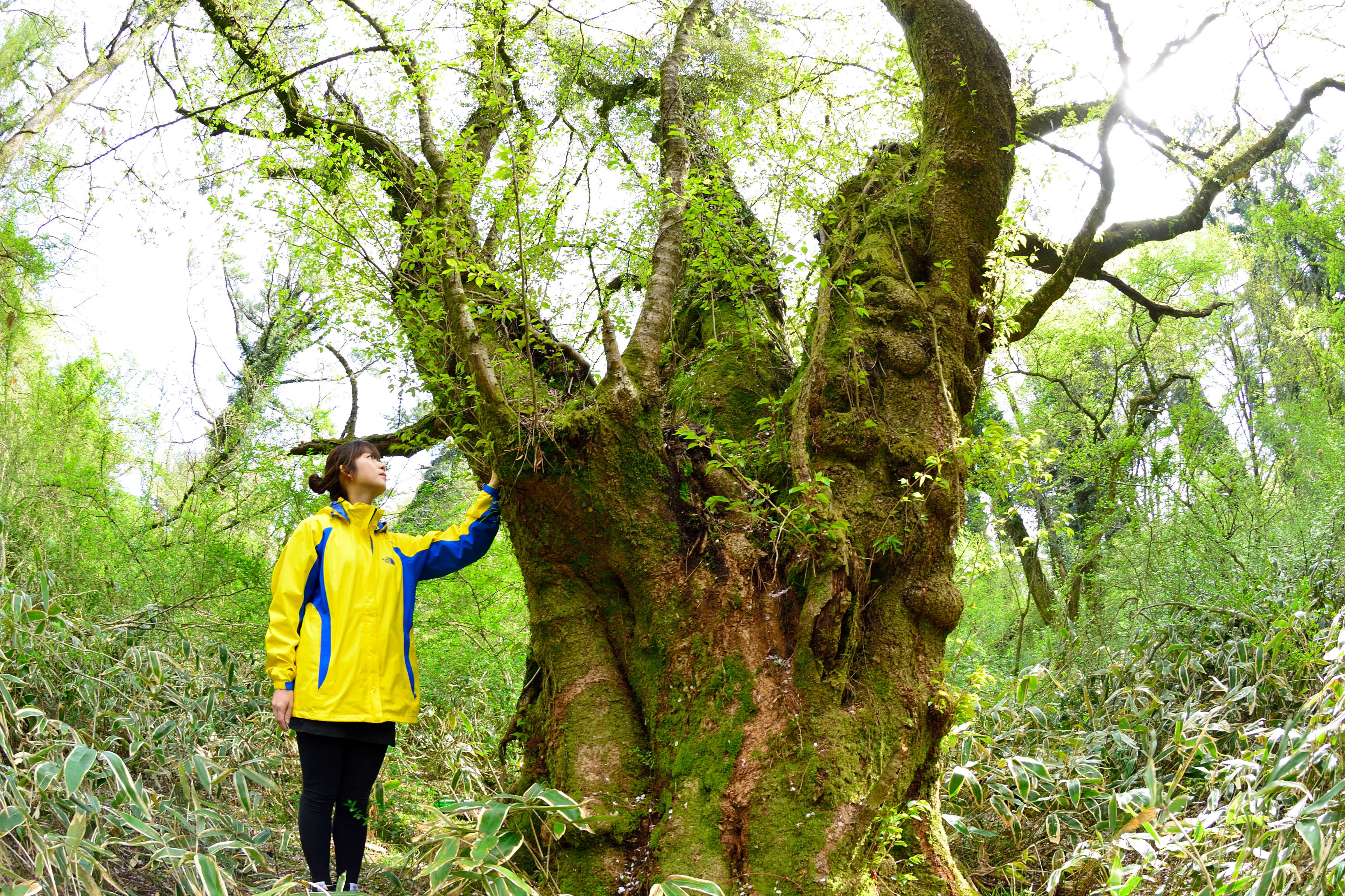 265살, 자생 왕벚나무 중 최고령 나무 발견 이미지3